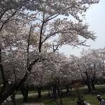桜満開☆春の札幌円山動物園へ♪